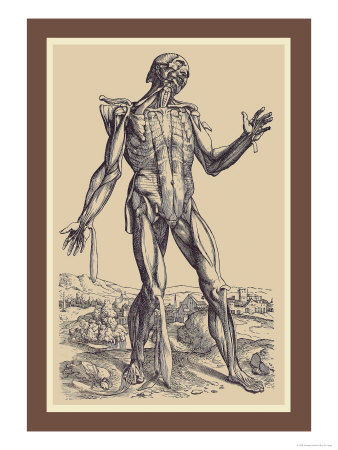 The Fifth Plate of the Muscles Prints by Andreas Vesalius