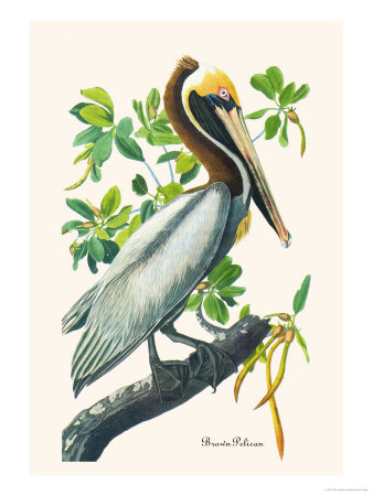 Brown Pelican Premium Poster