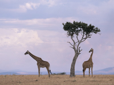 Two Giraffes with Acacia Tree, Masai Mara, Kenya, East Africa, Africa Photographic Print by James Gritz