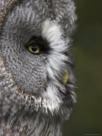 Portrait of a Great Grey Owl (Strix Nebulosa), Captive, United Kingdom, Europe Photographic Print by Ann & Steve Toon