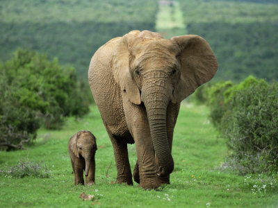 Mother and Calf, African Elephant (Loxodonta Africana), Addo National Park, South Africa, Africa Fotografisk tryk