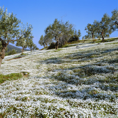 Olives Groves and Wild Flowers, Greece, Europe Photographic Print by Tony Gervis