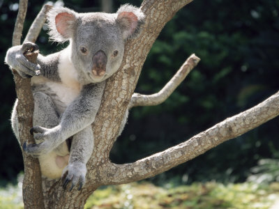 Koala Bear in a Tree in Captivity, Australia, Pacific Photographic Print