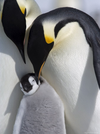 Emperor Penguin Chick and Adults, Snow Hill Island, Weddell Sea, Antarctica, Polar Regions Impressão fotográfica