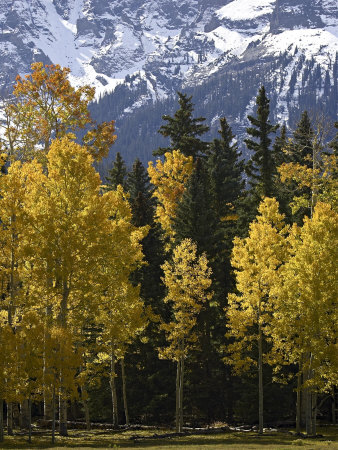 Fall Colors of Aspens with Evergreens, Near Ouray, Colorado Photographic Print by James Hager
