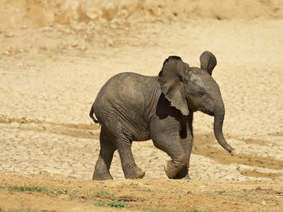 Baby African Elephant Running, Addo Elephant National Park, South Africa, Africa Photographic Print by James Hager