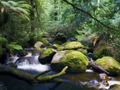 Taggerty River, Tree Ferns and Myrtle Beech Trees in the Temperate Rainforest, Victoria, Australia Lámina fotográfica