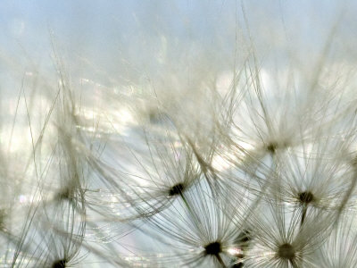 Close View of Dandelion Seeds, Groton, Connecticut Valokuvavedos