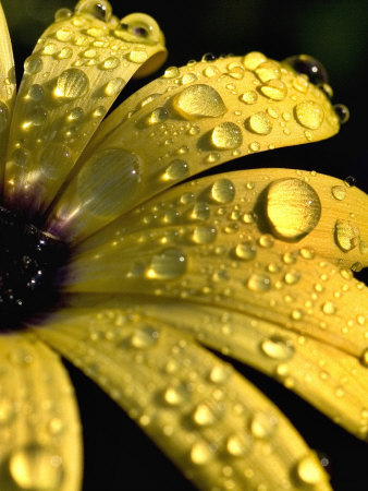 Close View of Water Drops on an Osteospermum Hybrid, Groton, Connecticut Photographic Print by Todd Gipstein