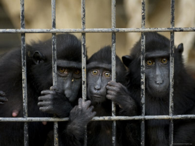 Celebes Macaques Sadly Gaze Out of their Cage, Henry Doorly Zoo, Nebraska Photographic Print by Joel Sartore