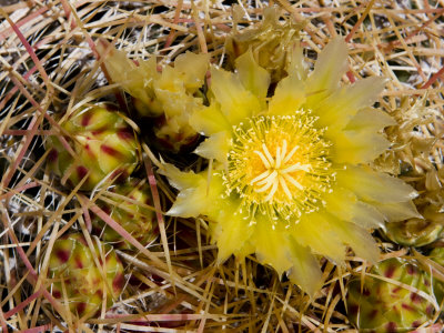 Closeup of a Barrel Cactus in Bloom, Anza-Borrego Desert State Park, California Photographic Print by Tim Laman