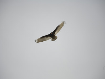 Circling Turkey Vulture Rides Air Currents Photographic Print by Stephen St. John