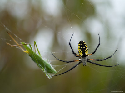 Black-And-Yellow Argiope at Spring Creek Prairie Captured a Katydid Photographic Print by Joel Sartore