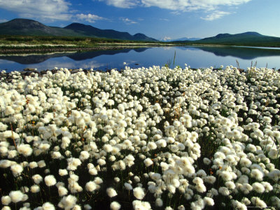 Cottongrass Along the Margins of a Tundra Lake, Alaska Photographic Print by Michael S. Quinton