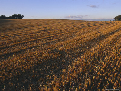 Denmark: Agricultural Field in Zealand, Wheat Harvest Photographic Print by  Brimberg & Coulson