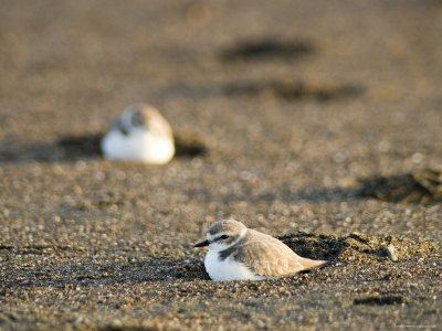 Endangered Western Snowy Plover on a Beach, California Photographic Print by Rich Reid