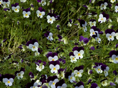 Close-Up of a Field of Pansies, Asolo, Italy Photographic Print by Todd Gipstein