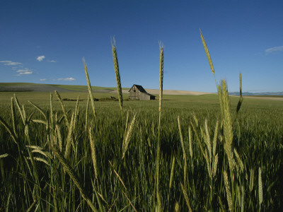 Barn Standing in an Open Field and Framed by Ears of Wheat, Utah Photographic Print by James P. Blair