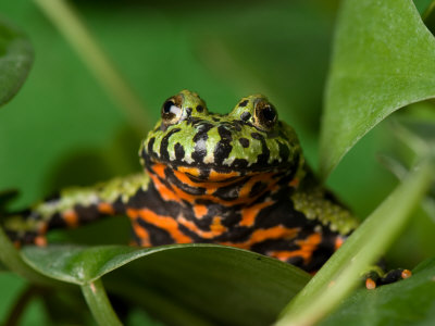 Fire-Bellied Toad at the Sunset Zoo Photographic Print by Joel ...