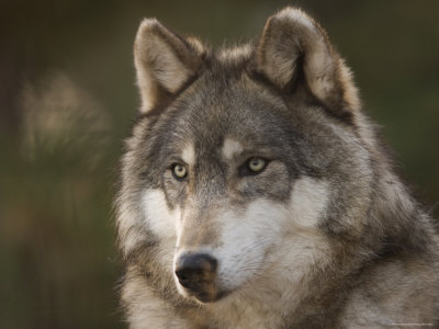 Gray Wolf at the Rolling Hills Wildlife Adventure Photographic Print by Joel Sartore