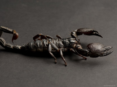 Emperor Scorpion at the Sunset Zoo, Kansas Photographic Print by Joel Sartore