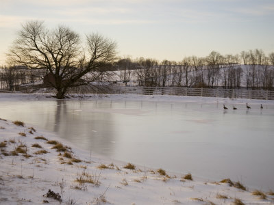 Geese Explore the Frozen Surface of a Country Pond Photographic Print by Stephen St. John
