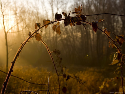 Dew-Covered Field of Vines in Early Morning Sunlight, Silver Spring, Maryland Photographic Print by Stephen St. John