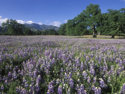 Fields of Lupine and Owl Clover in the Valley Oak Trees near Indians, California Photographic Print by Rich Reid