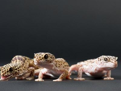 Female Leopard Geckos at the Sunset Zoo, Kansas Photographic Print by Joel Sartore