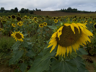 Field of Sunflowers in Tuscany, Italy Photographic Print by Todd Gipstein