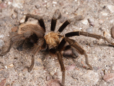 Desert Tarantula Spider Crawling Across a Road Photographic Print by George Grall