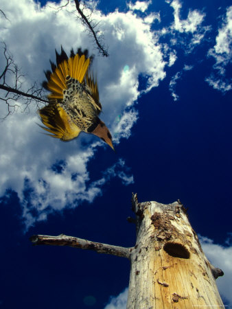 Male Northern Flicker Flies to Nesting Cavity, Alaska Photographic Print by Michael S. Quinton