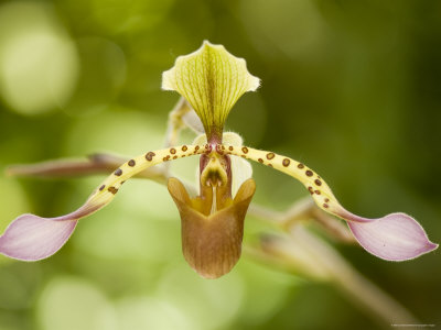 Hybrid Orchids at the Atlanta Botanical Garden Photographic Print by Joel Sartore