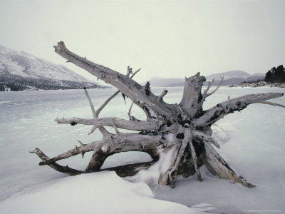 Roots of a Fallen Spruce on Tanada Lake, Alaska Photographic Print by Michael S. Quinton