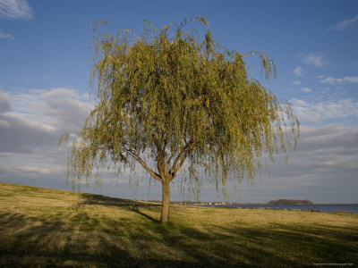 Lone Tree on the Chesapeake Bay Shoreline Photographic Print by Stephen St. John