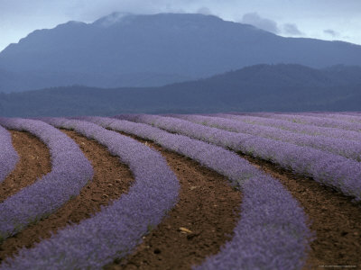 Rows of Lavender Flowers Await Harvest from Tasmania's Rich Soils, Australia Photographic Print by Jason Edwards