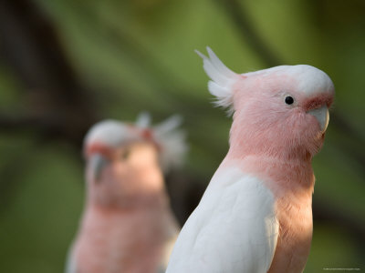 Leadbeaters or Major Mitchell's or Pink Cockatoo Photographic Print by Joel Sartore