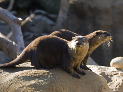 Pair of Asian Smalled-Clawed Otters, Santa Barbara, California Photographic Print by Rich Reid