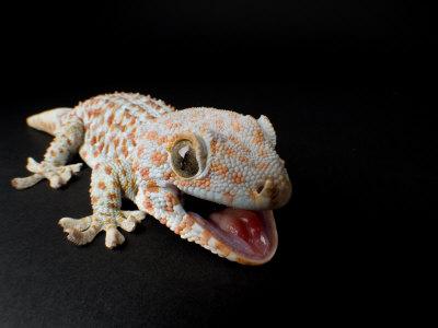Tokay Gecko at the Sunset Zoo in Manhattan, Kansas Photographic Print by Joel Sartore