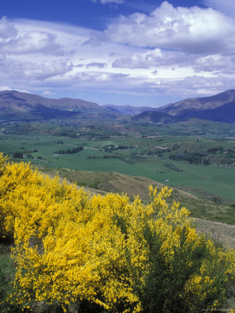 Yellow Broom over Pasture in Dalefield and the Remarkables Photographie