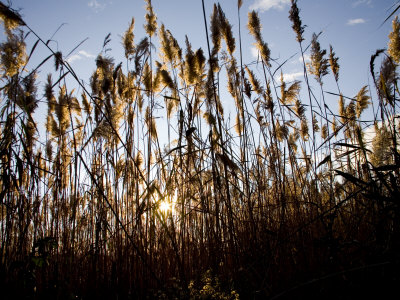 Sunset Through the Tall Grasses of Chesapeake Bay Wetlands Photographic Print by Stephen St. John