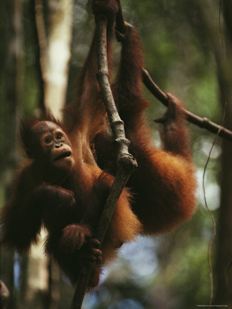 Two Orangutans Hang from Tree Limbs, Borneo Photographic Print