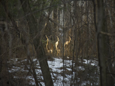 Trio of Wild Does Pause in a Spot of Sunlight Photographic Print by Stephen St. John
