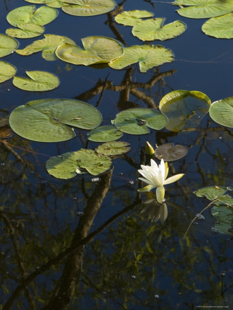 Water Lilies with White Bloom Floating on a Pond, Groton, Connecticut Photographic Print by Todd Gipstein