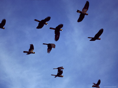 Yellow Tailed Black Cockatoo Flock in Flight against a Blue Sky, Australia Photographic Print by Jason Edwards