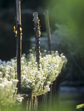 White Camomile in Garden Photographic Print by Joerg Lehmann