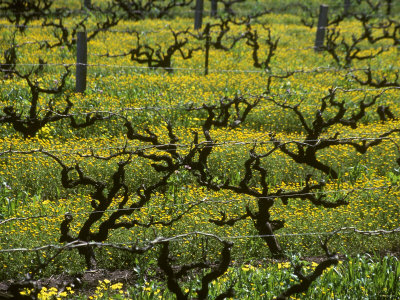 Vines Among Mustard Flowers, Magill, South Australia Photographic Print by Steven Morris