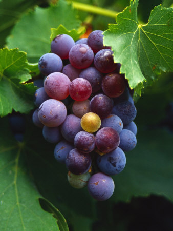 A Bunch of Grenache Grapes on the Vine, Australia Photographic Print by Steven Morris