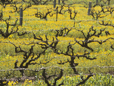 Old Vines Among Mustard Flowers in Southcorp, Australia Photographic Print by Steven Morris
