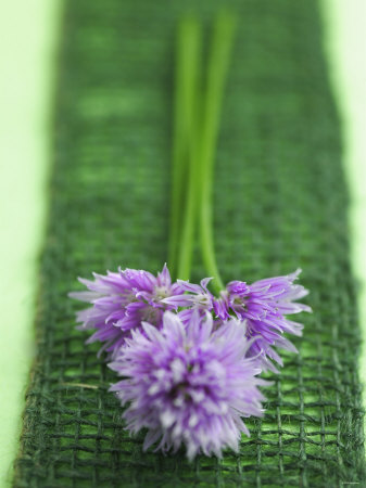 Flowering Chives Photographic Print by Elisabeth Cölfen
